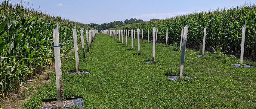 Rows of native trees are planted with corn at Allerton Park, an example of alley cropping.