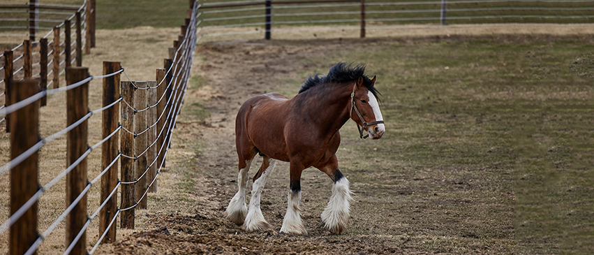 A Clydesdale horse